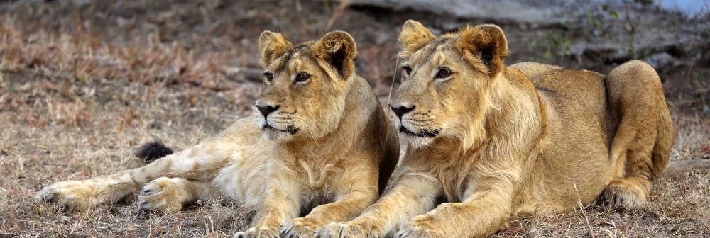 Asiatic lions in Sasan Gir