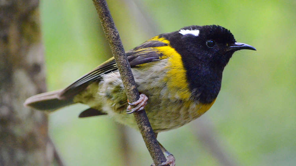 A male hihi, also known as a stitchbird, perched on a branch.