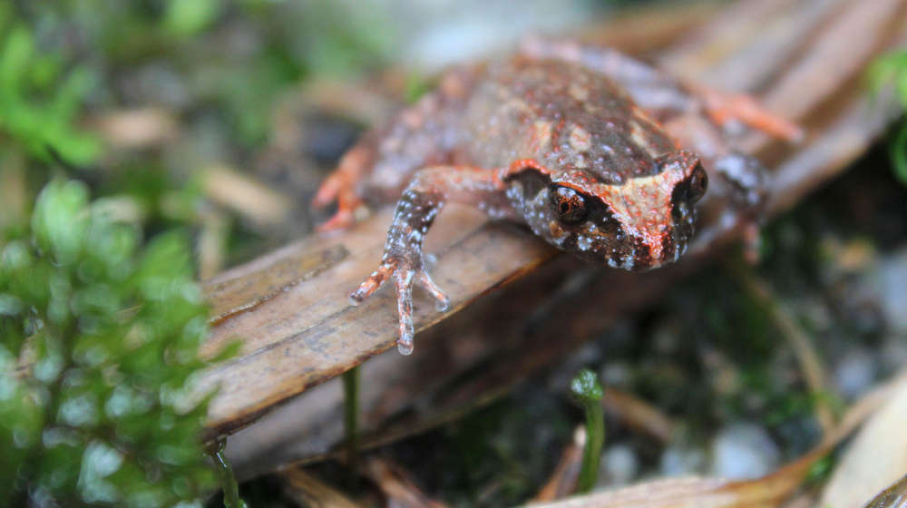 Close-up photograph of the Botsfords's leaf-litter frog clinging to a leaf