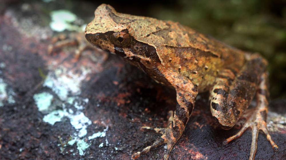 Photograph of a Hoang Lien frog sat on a rock