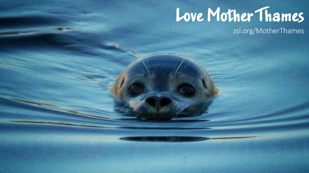 Seal head poking above water