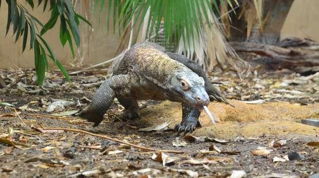 Komodo Dragon Ganas walking