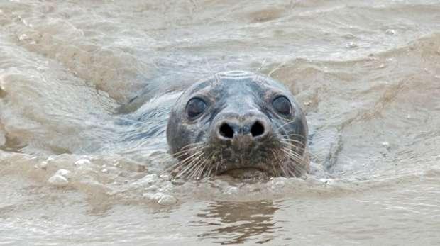 Grey seal swimming