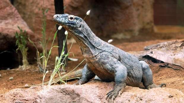 A komodo dragon at ZSL London Zoo.