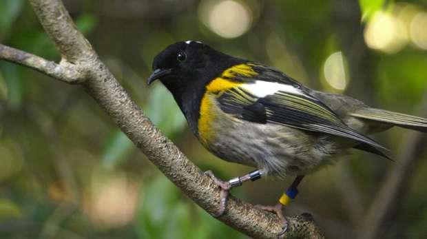 Male Hihi bird