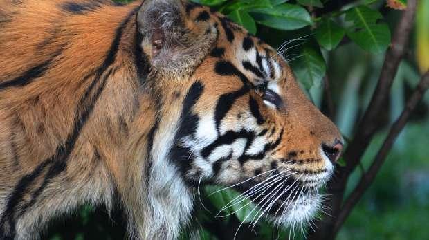 Jae Jae, a Sumatran Tiger, at ZSL London Zoo.