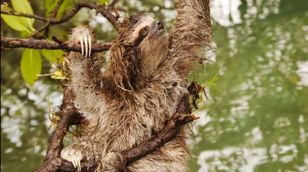 Pygmy sloth climbing