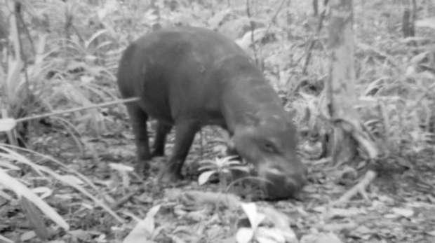 Pygmy hippo caught on camera trap