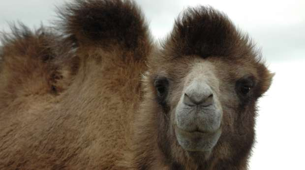 Bactrian camel at ZSL Whipsnade Zoo