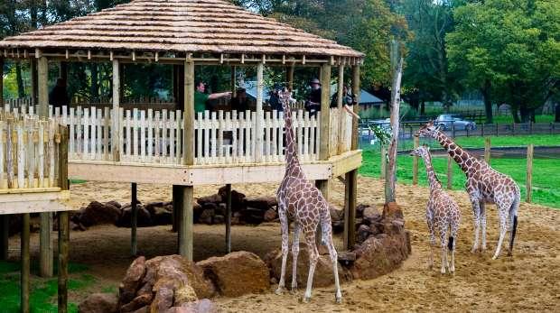 Giraffe heights at ZSL Whipsnade Zoo