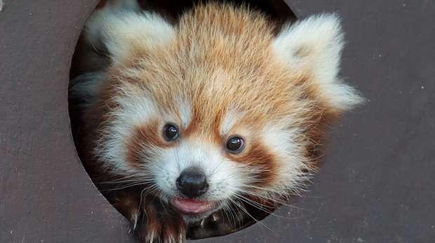 Red panda cub at ZSL Whipsnade Zoo