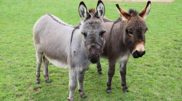 Miniature donkeys Trevor and Tulip at the Hullabazoo Farm at ZSL Whipsnade Zoo.