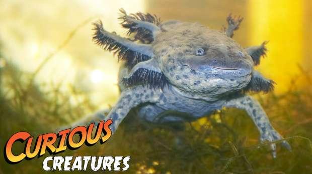 Axolotl Curious Creatures