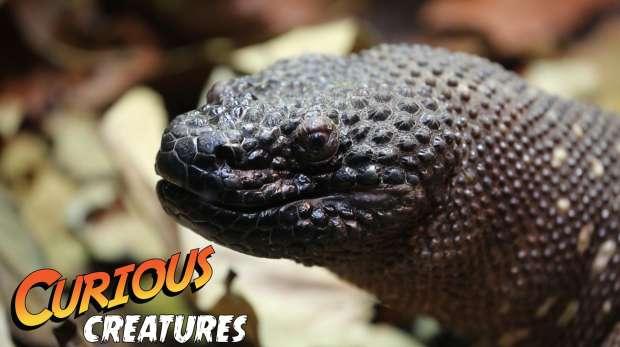 Beaded Lizard Curious Creatures