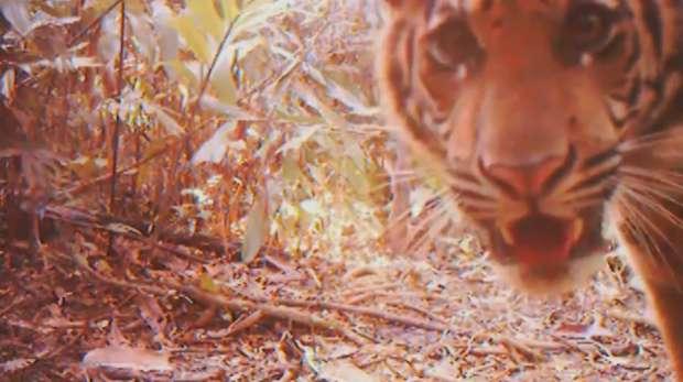 Sumatran tiger captured on a camera trap