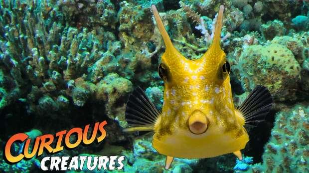 Longhorn cowfish Curious Creatures