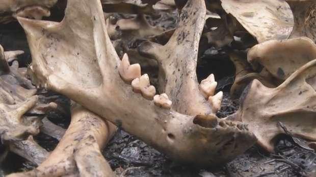 Sumatran tiger bones