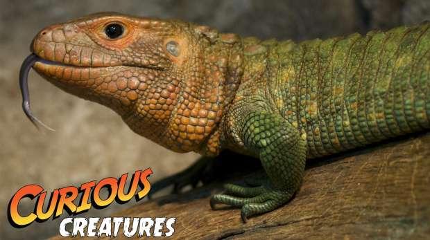 Caiman lizard curious creatures