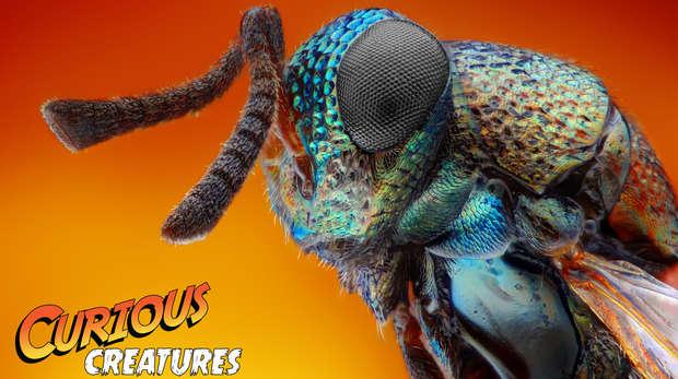 Jewel wasp curious creatures