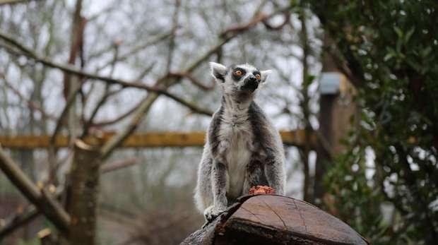 Lemur in In with the Lemur exhibit