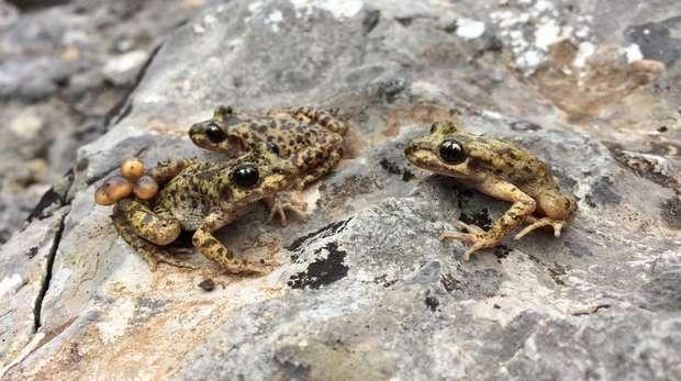 Mallorcan midwife toads (c) Jaime Bosch