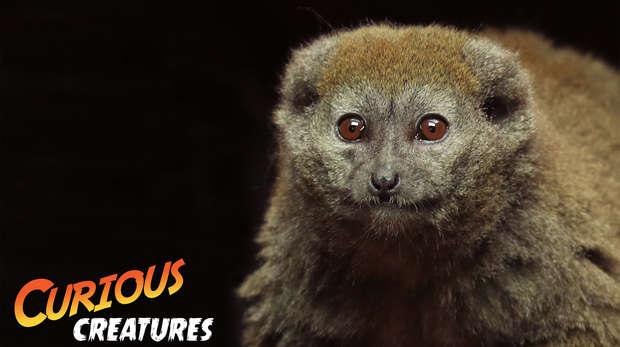 Gentle lemur