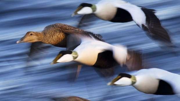Eider duck JZO cover Nov 2014 Jaatinen et al haahka