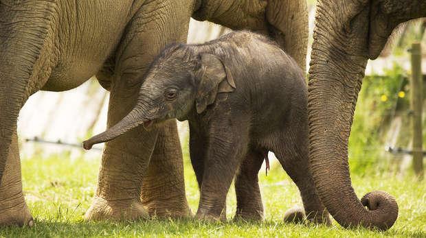 Elizabeth the Asian elephant calf