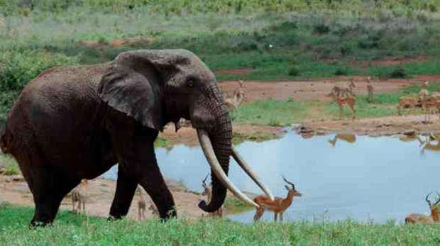 African elephants in Kenya