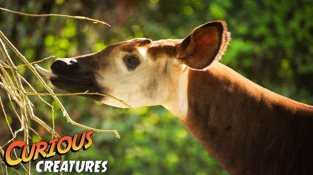 Curious Creatures: Okapi
