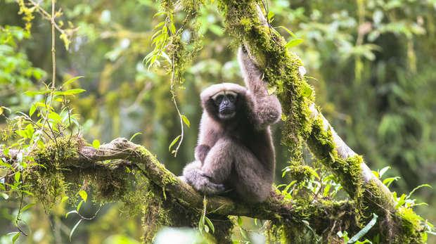 Adult female Skywalker Hoolock tianxing gibbon