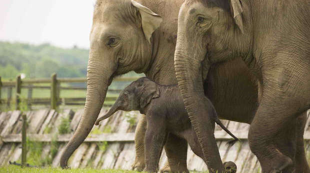 Baby Asian elephant calf, Elizabeth, with two adult female elephants at ZSL Whipsnade Zoo