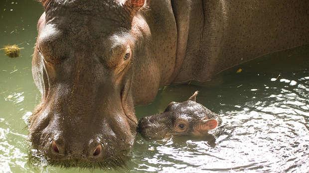 Baby hippo Hodor with mum Lola