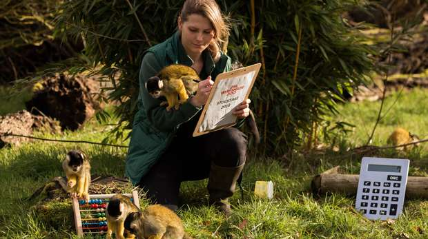 Counting the squirrel monkeys in ZSL Whipsnade Zoo's annual stocktake