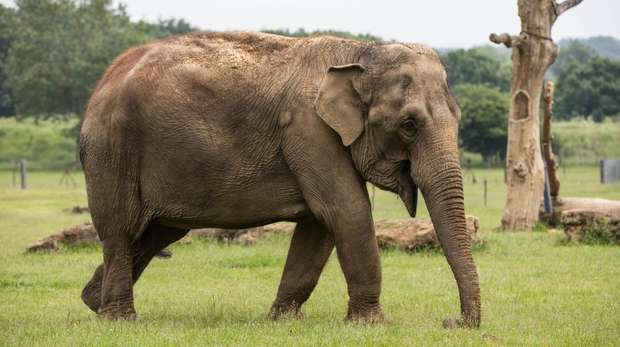 Asian elephant at ZSL Whipsnade Zoo