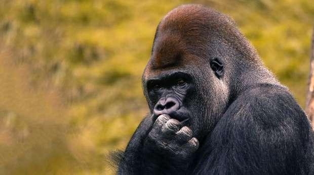 Kumbuka the Gorilla at London Zoo