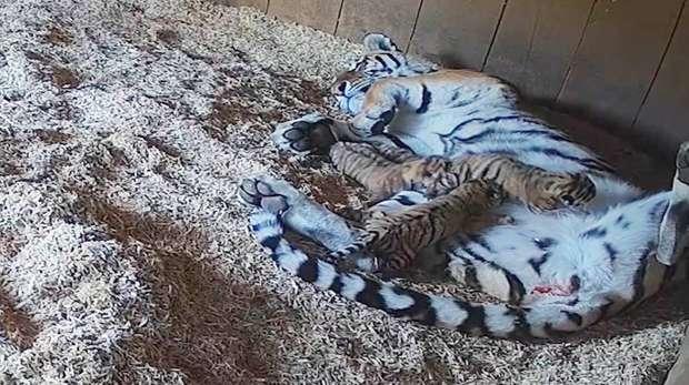 Naya and Amur tiger cubs at ZSL Whipsnade Zoo