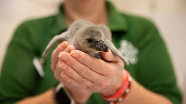 Rainbow the penguin chick at ZSL London Zoo