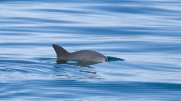 An image of a vaquita in the water
