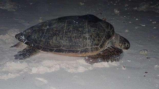 Satellite tagged turtle released. DG, BIOT. Nicole Esteban