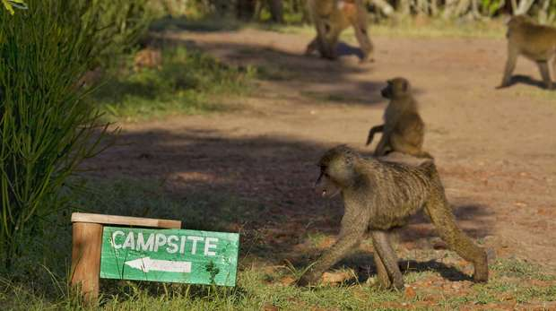 Baboon cognition