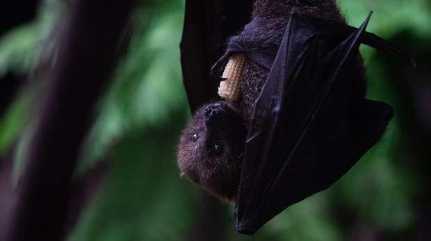 Rodrigues fruit bat at ZSL London Zoo