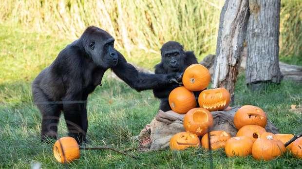Western lowland gorillas at ZSL London Zoo enjoy Halloween treats
