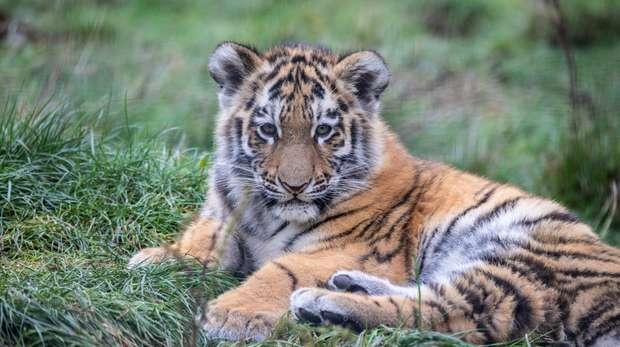 Amur tiger cub at ZSL Whipsnade Zoo