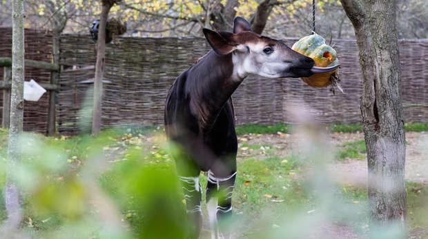 Meghan the okapi on her first birthday