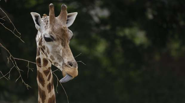 A giraffe sticking her tongue our at ZSL London Zoo