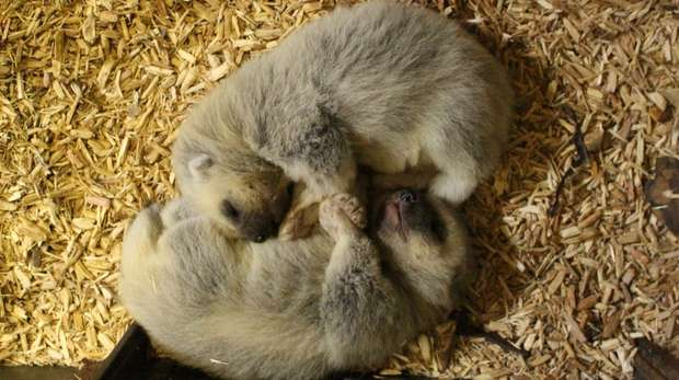 Two adorable wolverine kits were born in February