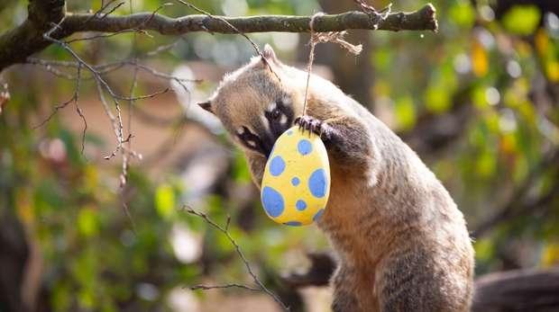 A coati enjoys Easter treats at ZSL London Zoo