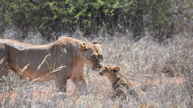 Photograph of a young lioness and her cub in grassland