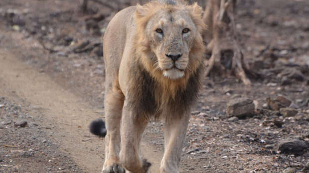 Asiatic lion on road, Gir